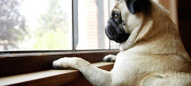 cachorro-sozinho-em-casa