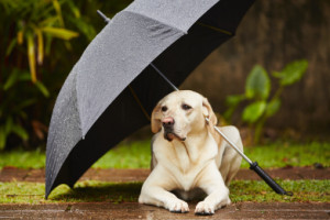 Labrador retriever in rain is waiting under umbrella.